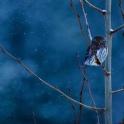 Pygméugle i vinterblått