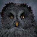 Stor, grå og praktfugl jaktfugl lytter