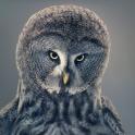 Tim Flach - More Than Human - Owl II